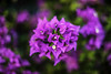 Purple Petals (Mabry Campbell) Tags: 2016 december mabrycampbell mexico nayarit puntamita rivieranayarit bokeh commercialphotography fineart fineartphotography image nature photo photograph photographer photography plant plower purple trip tropical tropics f16 december92016 20161209campbellh6a8309 50mm ¹⁄₁₂₅sec 100 ef50mmf12lusm