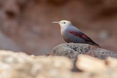 Tichodrome échelette (Tifaeris) Tags: passériformes tichodromamuraria tichodromeéchelette tichodromidés wallcreeper bird oiseau