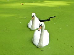 Two Swans (Big Star ✩) Tags: alwalton peterborough eastanglia england uk cambs swans birds white green moss river
