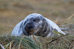 Grey Seal Pup. (David James Clelford Photography) Tags: greysealpup donnanook lincolnshire greyseal lincolnshirewildlifetrust