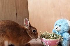 Ichigo san 594 (Ichigo Miyama) Tags: いちごさん。うさぎ。 rabbit bunny netherlanddwarf brown ichigo ネザーランドドワーフ ペット いちご うさぎ