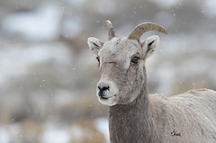 Bighorn Ewe in Falling Snow - 0060b+ (teagden) Tags: bighorn sheep ewe bighornewe falling snow jenniferhall jenhall jenhallphotography jenhallwildlifephotography wildlifephotography wyoming photography nature naturephotography nikon wild winter snowing fallingsnow snowflakes