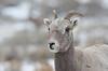 Bighorn Ewe in Falling Snow - 0060b+ (teagden) Tags: bighorn sheep ewe bighornewe falling snow jenniferhall jenhall jenhallphotography jenhallwildlifephotography wildlifephotography wyoming photography nature naturephotography nikon wild winter snowing fallingsnow snowflakes