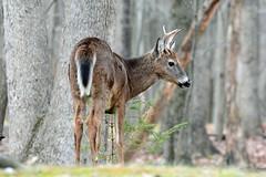 White-tailed Deer Buck (av8s) Tags: whitetaileddeer deer buck nature wildlife photography nikon d7100 sigma 120400mm pennsylvania pa