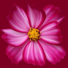 Cosmos (brianrosshaslam) Tags: cosmos flower candystripe magenta magentabackground red redbackground