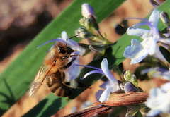 Apis mellifera (TJ Gehling) Tags: insect hymenoptera bee apidae apis apismellifera plant flower rosemary elcerrito