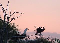 Birds at Dusk (hardmile) Tags: bird birds wildlife nature beauty magic outdoors forest water animals tropical tropics lagoon