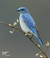 Here's Hoping (Mountain Bluebird) (The Owl Man) Tags: