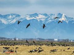 IMG_3108 (BarArt Photographie) Tags: sandhillcranes cranes montevista colorado mountains blueskies wildlife nature outdoors naturephotography barartphotographie refuge migration