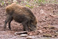 Another wild boar pic (Cloudtail the Snow Leopard) Tags: wildschwein schwein wild boar swine pig eurasian wildpark pforzheim tier animal mammal säugetier