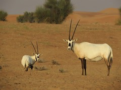 Arabian Oryx (tom_2014) Tags: oryx arabian arabianoryx white horns emblem leucoryx oryxleucoryx animal mammal desert arid species antelope bovid bovidae endangered wild wildlife uae nature ecology biodiversity dubai unitedarabemirates middleeast arabia dunes