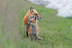 Mother Fox (marylee.agnew) Tags: red fox mother baby family love enchanting summer outdoor wildlife nature sweet cute