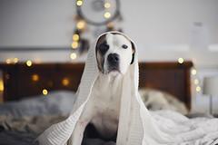 9/52 when the weekend's over (Jutta Bauer) Tags: 52weeksfordogs 52weeksforedgar 952 edgar excellentedgar dog boxermix pitbullmix bed blanket cozy