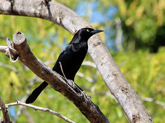 Greater Antillean Grackle (robin denton) Tags: bird nature wildlife antigua caribbean caribe westindies quiscalusniger