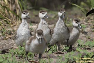 Egyptian Goose (fledgings)