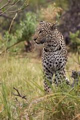 Okavango Beauty (Thomas Retterath) Tags: 2016 africa afrika allrightsreserved animals bigfive botswana carnivore copyrightthomasretterath felidae kwara leopard mammals natur nature okavangodelta pantherapardus predator raubtiere säugetier thomasretterath tiere wildlife coth5 sunrays5