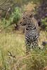 Okavango Beauty (Thomas Retterath) Tags: 2016 africa afrika allrightsreserved animals bigfive botswana carnivore copyrightthomasretterath felidae kwara leopard mammals natur nature okavangodelta pantherapardus predator raubtiere säugetier thomasretterath tiere wildlife coth5 sunrays5 ngc npc