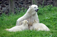 Polar Bears Ouwehands Dierenpark (lesbaer4) Tags: zoo polarbear ijsbeer rhenen ouwehandsdierenpark ouwehandszoo