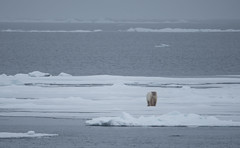 DSC_3442 (stacyjohnmack) Tags: july23 polarbear artic