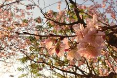 Cerejeira (Marianna V. Rodrigues) Tags: parque verde brasil natureza capital flor rosa sp paulo arvore leste so japones zona carmo cerejeira delicada