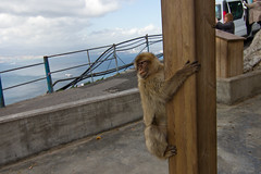 The Apes Of Gibraltar 3392 (casch52) Tags: barbary animal macaque mammal wildlife primate monkey ape gibraltar nature outdoor brown wild rock outside portrait sea iberian sylvanus macaca cliff spain africa sky uk one color young blue exterior mood macacasylvanus europe peninsula barbarymacaque kingdom clouds skye behavior facial baby cute united fauna actions female male canon7d tokina1116mm f28 bird natural