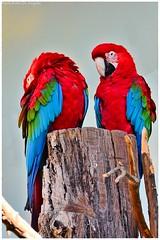 Macaws (Belén De Angelis) Tags: zoo aves guacamayo guacamayos