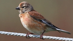 Linotte mlodieuse, Am, n (R, 2014-05-11_01) (th_franc) Tags: oiseau linottemlodieuse