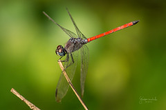 Red tail Dragonfly - Macro (Gladson777) Tags: life red india macro insect fly dragonfly bokeh sony tail alpha slt a58 vasai naigaon