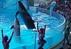Lui Sara and Millenie (front to back) (EmilyOrca) Tags: show aquarium jump dolphin cetacean falsekillerwhale