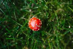 The Lone Mushroom (barefoot_in_alaska) Tags: mushroom alaska alone mario poison redmushroom