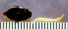 Whirligig beetle_8466a (illinoisriverwatch) Tags: adult beetle larvae whirligig gyrinidae