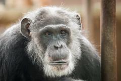2015-10-10-09h45m44.BL7R6842 (A.J. Haverkamp) Tags: mike zoo thenetherlands chimpanzee amersfoort dierentuin chimpansee dierenparkamersfoort httpwwwdierenparkamersfoortnl canonef100400mmf4556lisusmlens dob1965