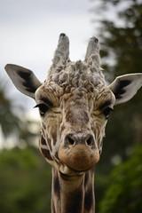 Giraffa camelopardalis DT [NZ Auckland Zoo] (6) (Archivo Murcilago Blanco) Tags: africa fauna auckland mammals mammalia aucklandzoo nuevazelanda ungulates giraf jirafa giraff mamifero artiodactyla giraffidae oceana cetartiodactyla ungulado ungulados tirira diegotirira archivomurcielagoblanco