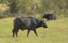 _DSC1163. Bøffel,  Masai Mara. (Berit Christophersen) Tags: nature buffalo kenya african wildlife safari capebuffalo masaimara synceruscaffer africanbuffalo bøffel sonyalpha sal70400g2 afrikabøffel
