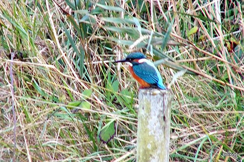 Kingfisher - Vale Pond, Guernsey 20-09-2015 15-38-13