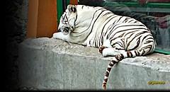 Tigre blanco, zoolgico de Zacango, estado de Mxico..P1130218EP (gtercero) Tags: estadodemxico tigreblanco zoolgicodezacango gtercero 20150927