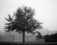 Fog (jeffk42) Tags: morning blackandwhite tree 120 film monochrome fog analog mediumformat outdoors 6x7 filmisnotdead ilforddelta3200pro mamiyarz67proii ranalog