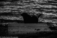 Dog and Dock (Joshua Banks Photography) Tags: dog pets beach dogs animals wisconsin dock nikon lab canine madison dane mansbestfriend madisonwi lakemendota ilovedogs maplebluff wisconsinlakes d5200 danecountywi wisconsinphotographers joshuabanks maplebluffwi nikond5200 joshuabanksphotography