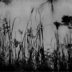 Parklife 2 (dawn_macroart) Tags: bw plants nature water lines landscape patterns grasses organic marshland abstractimpression abneyparkcheadle