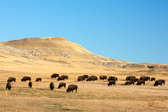 Great Plains Buffalo (www.toddklassy.com) Tags: travel blue autumn sky usa brown west fall nature grass animal animals horizontal rural america landscape mammal countryside buffalo furry montana butte mt unitedstates eating farm wildlife horizon country hill farming nobody farmland formation clear western land prairie copyspace agriculture plains bison grassland herd grazing greatplains americanbison groupofanimals threatened bigtimber buffalofarm sweetgrasscounty snakebutte