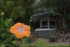 Nani Mau Gardens (Rob Millenaar) Tags: flower hawaii dof bigisland hilo hybiscus nanimaugarden