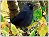 Autumnal jackdaw portrait! (macfudge1UK) Tags: uk greatbritain autumn england tree bird nature leaves fauna europe branch wildlife ngc npc gb perch s1 corvid oxfordshire avian oxon jackdaw perching 2015 corvusmonedula coth britishbirds finepixs1 fujis1 britishbird ©allrightsreserved alittlebeauty bbcautumnwatch coth5 rspbgreenstatus fujifilmfinepixs1 fujifinepixs1