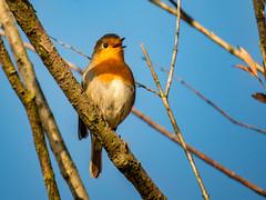 Roodborst zingend uit volle borst (aj.lindeboom) Tags: vogels dieren diversen