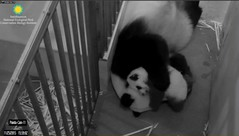 #PandaStory giant panda cam 11/25/2015 03:59 PM EST Photo Credit: Smithsonians National Zoo and Conservation Biology Institute. (paolagospo) Tags: