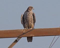 Gyrfalcon (Keith Carlson) Tags: falcons raptors gyrfalcon falcorusticolus