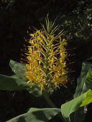 Trebah Garden (JaneTurner68) Tags: plant flower garden cornwall trebah gingerlily