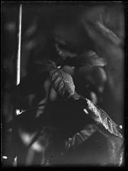 Raspberry Leaves (Nicholas Middleton) Tags: rodinal largeformat 9x12 nagel schneiderkreuznach glassplate standdevelopment hp3 proxar 9x12cm radionar recomar foldingplatecamera kodakag expiredemulsion kodakrecomar33 ro9oneshot