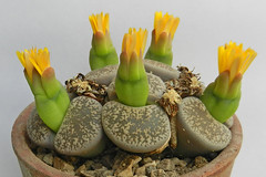 Lithops lesliei var. venteri. (1) (Succulents Love by Pasquale Ruocco (stabiae)) Tags: southafrica succulent lithops mesembryanthemum namibia mimicry succulents stabiae mimetismo piantegrasse aizoaceae succulente mesembryanthemaceae cactusco mesembs fulviceps floweringstones sassifioriti pasqualeruocco mesembryanthema succulentslove forumcactusco