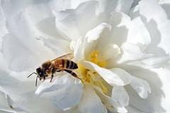 Honey Bee (Jim Atkins Sr) Tags: flower nc sony northcarolina camelliasasanqua camellia honeybee newbern newbernnc whitecamelia minenoyuki sonya58