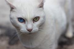 White Cat (Yann Cerri) Tags: blue white verde green branco azul cat gato greeneye olho whitecat oddeyed olhoverde olhoazul blueye gatobranco oddeyedcat